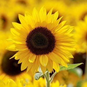 yellow-sunflower-field