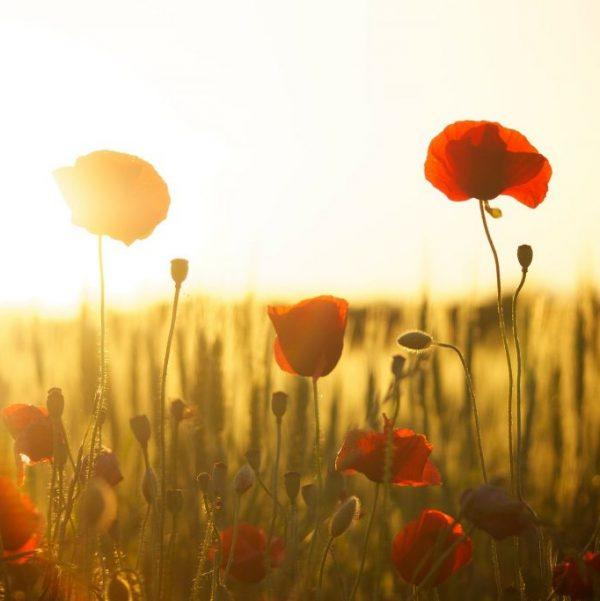 sunset-meadow-flowers