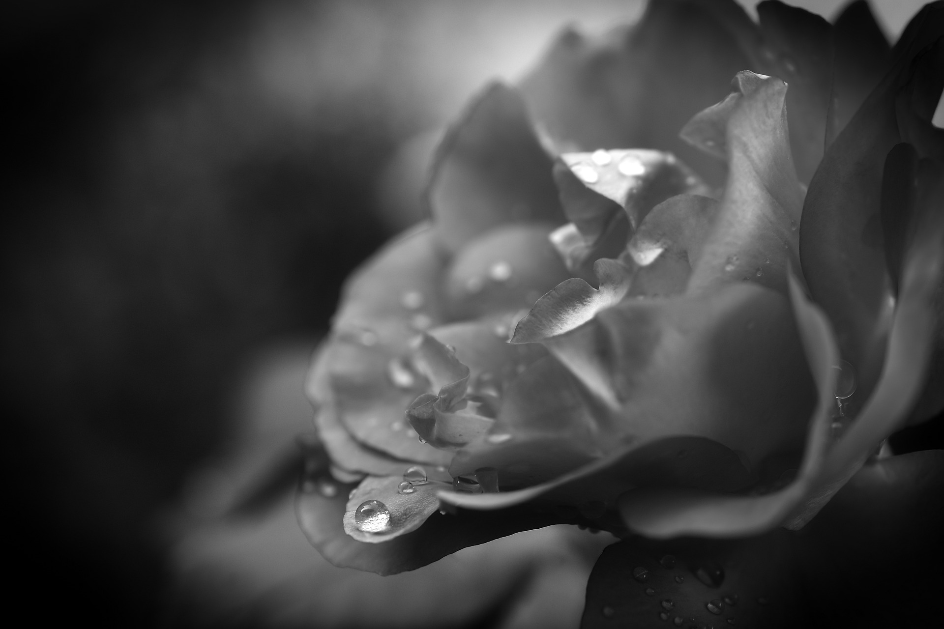 drop-of-water-on rose